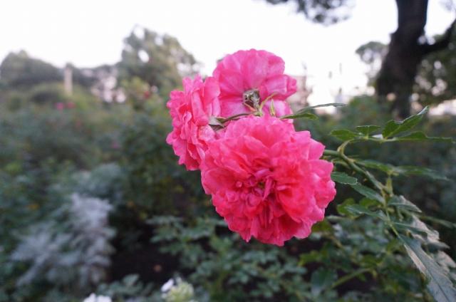 ガーデニングを楽しむ、植栽豊かな薔薇や緑のあるお庭