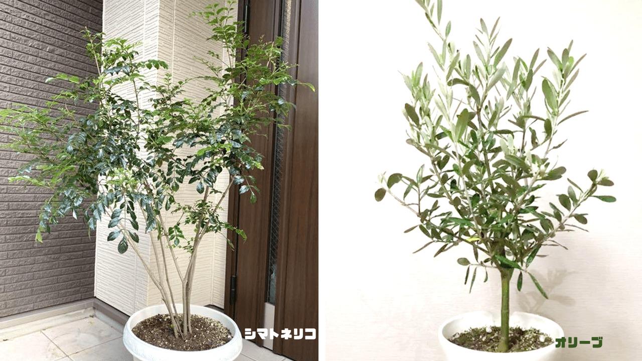 人気の植栽として知られている、シマトネリコやオリーブ